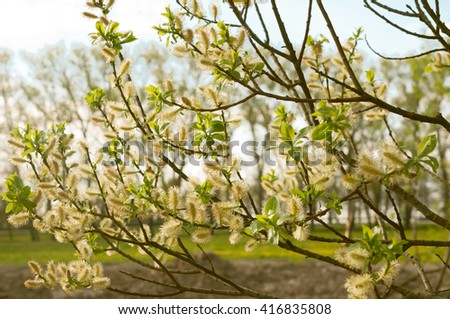 lush blooming delicate flowers branch of a willow in the spring.lush spring flowering willow fur seals - stock photo