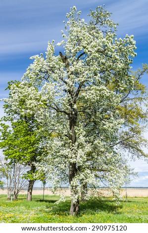 Lush blooming tree under blue sky - stock photo
