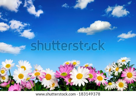 Lush flower bed with white and pink daisies in front of the deep blue sky and fluffy little clouds - stock photo