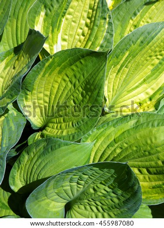 Lush foliage of decorative plant  Hosta (Funkia). Natural green background. - stock photo