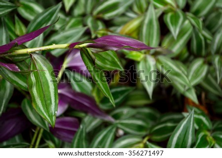 Zebrina stock photos royalty free images vectors shutterstock - Wandering jew plant name ...