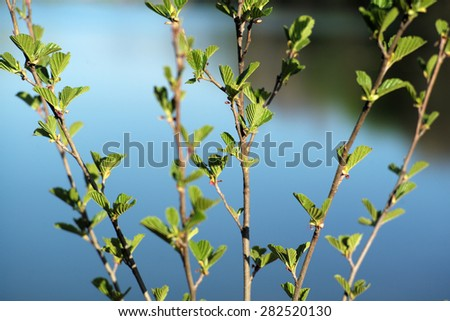 Lush fresh green small leaves of young tree on thin branches in broad daylight on clean mirror pond bright natural background, horizontal picture - stock photo