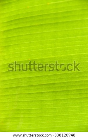 Lush green banana palm leaf as closeup - stock photo