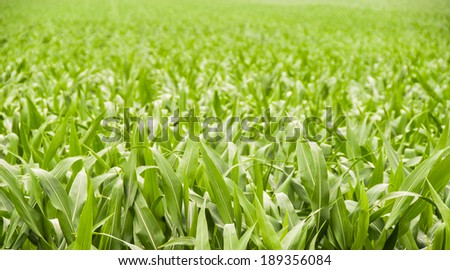Lush green corn field. Agriculture background - stock photo