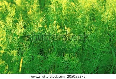 Lush green dill in the garden                                - stock photo