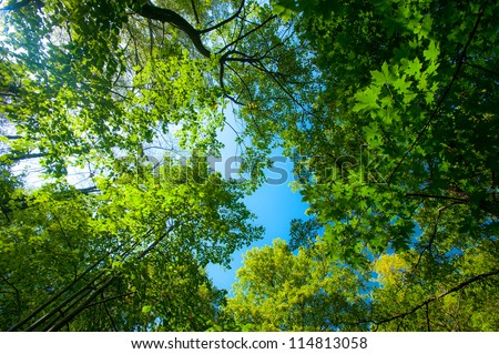 Lush green foliage, birch trees and clear sky in the forest in autumn - stock photo