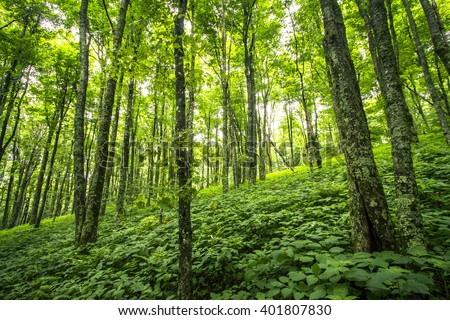 Lush Green Forest along the Appalachian Trail. - stock photo