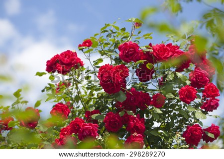 Lush green fresh blossoming bush of wild bright red rose with beautiful aroma flowers in garden outdoor sunny day on blue sky background, horizontal picture - stock photo