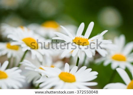 Lush green grasses and crisp white oxeye daisies - stock photo