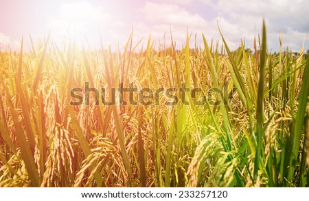 Lush green paddy fields of Bali early in the morning - stock photo
