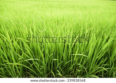 lush green paddy rice spring - stock photo