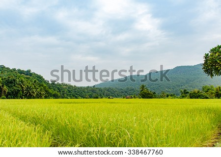 Lush green Rice fields of the countryside, The Green young rice in the field rice.