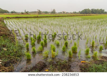 Lush green rice fields, small plots cultivated by nature.