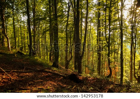 Lush green summer forest with rays penetrating the canopy