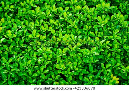 Evergreen Hedges Stock Images Royalty Free Images