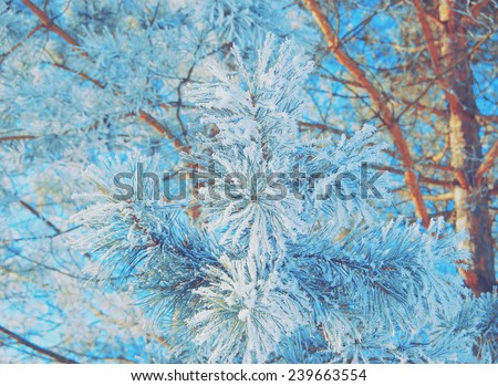 lush pine branch with long needles covered with snow in blue - stock photo