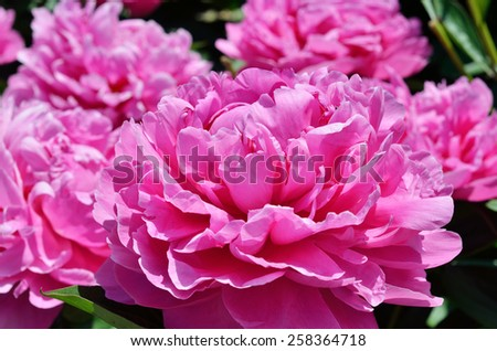 Lush pink peonies are photographed close-up. - stock photo