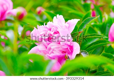 lush pink peony flower in green foliage - stock photo