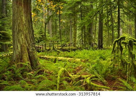 Lush rainforest in the Cathedral Grove on Vancouver Island, Canada. - stock photo