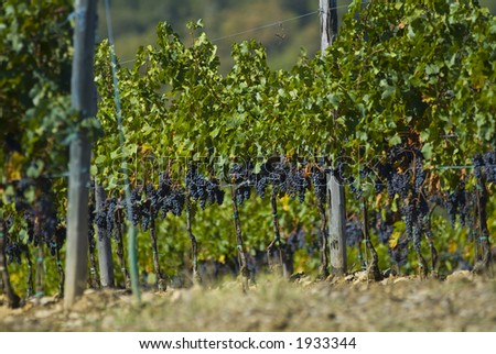 Lush ripe grapes on the vine 01 - stock photo