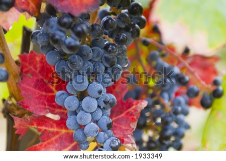Lush ripe grapes on the vine 06 - stock photo