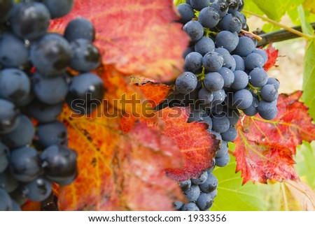 Lush ripe grapes on the vine 13 - stock photo