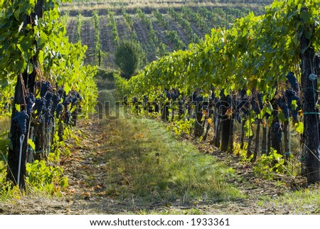 Lush ripe grapes on the vine 18 - stock photo