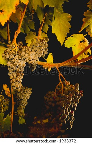 Lush ripe grapes on the vine 29 - stock photo