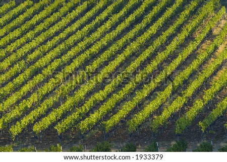 Lush ripe grapes on the vine 36 - stock photo
