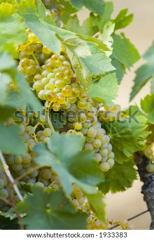 Lush ripe grapes on the vine 40 - stock photo