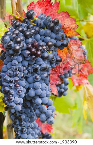 Lush ripe grapes on the vine 47 - stock photo