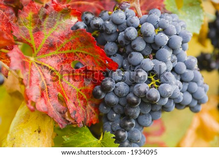Lush ripe grapes on the vine 57 - stock photo