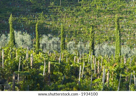 Lush ripe grapes on the vine 62 - stock photo