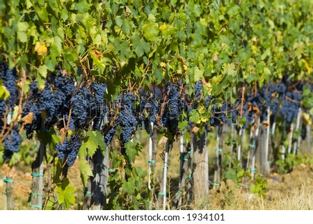 Lush ripe grapes on the vine 63 - stock photo