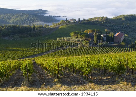 Lush ripe grapes on the vine 77 - stock photo