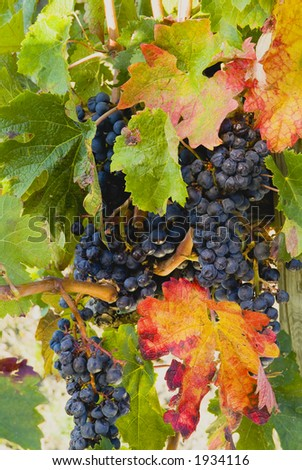 Lush ripe grapes on the vine 78 - stock photo