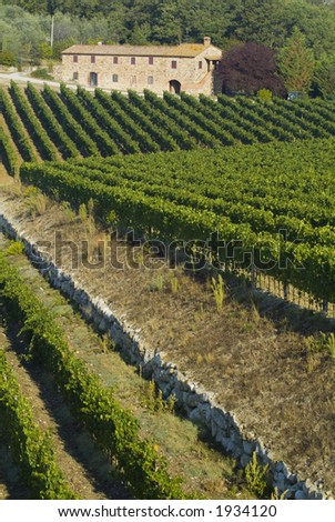 Lush ripe grapes on the vine 82 - stock photo