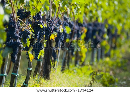 Lush ripe grapes on the vine 86 - stock photo
