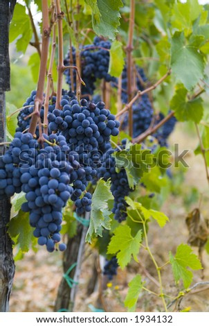Lush ripe grapes on the vine 94 - stock photo