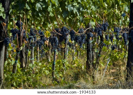 Lush ripe grapes on the vine 95 - stock photo