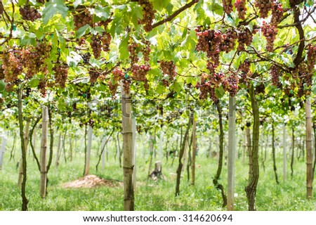 Lush Ripe Grapes on the Vine Food Fruit Produce in Vineyard - stock photo