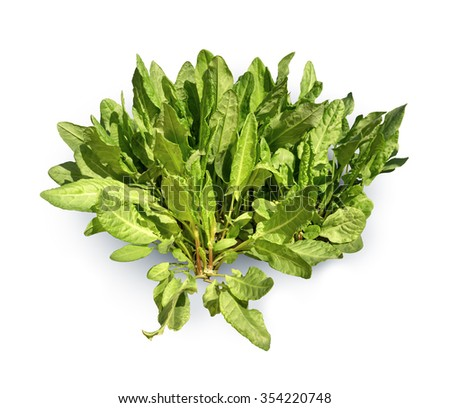 Lush scrub young sorrel vivid sunny spring day isolated on white background with clipping path. View close-up with space for text - stock photo