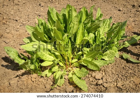 Lush scrub young sorrel vivid sunny spring day. View close-up with space for text on on loosening land - stock photo