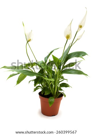 Lush, shiny indoor plant, studio isolated on white background.