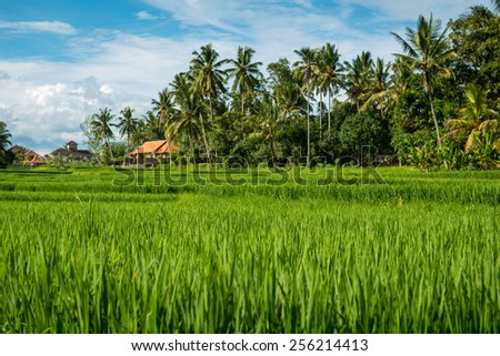 Lush tropical rice fields in Ubud, Indonesia
