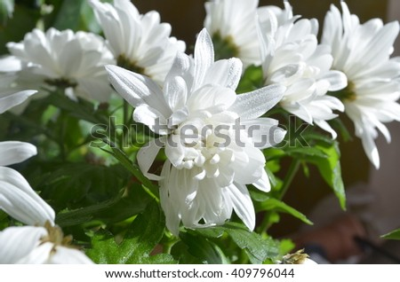 lush white chrysanthemums - stock photo