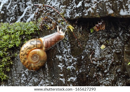 Lusitanian snail (Elona quimperiana) - stock photo