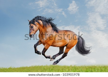 lusitano horse runs free in the field - stock photo