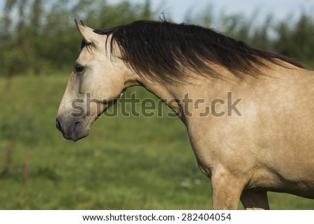 Lusitano Mare On The Meadow