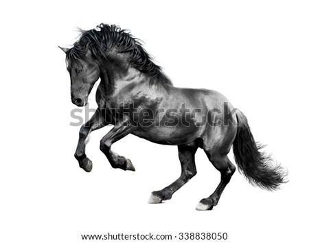 lusitano stallion galloping isolated on white - stock photo